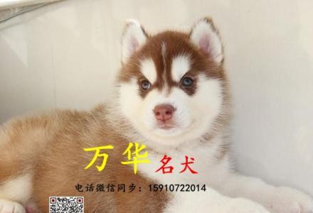 纯种哈士奇 黑白色哈士奇 北京哪卖哈士奇幼犬