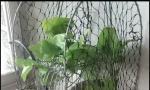 出售斑鸠媒加越南打笼!!!