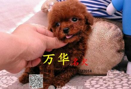 北京泰迪多少钱 北京茶杯犬泰迪熊价格 泰迪价格