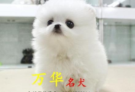 北京博美多少钱一只 北京博美怎么卖 北京博美价格