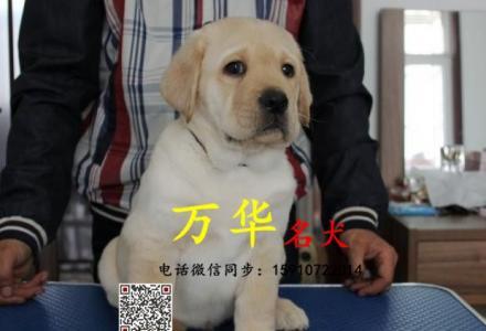 纯种拉布拉多犬 北京哪卖拉布拉多犬 疫苗驱虫已做完