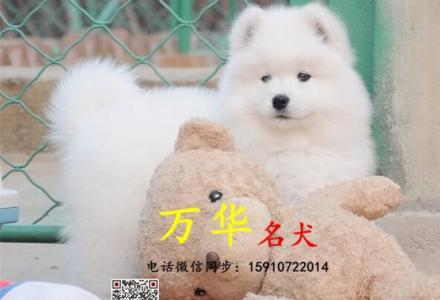 北京犬舍哪卖纯种萨摩多少钱,萨摩耶好养吗,萨摩图片