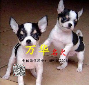 北京哪里出售吉娃娃幼犬 三个月吉娃娃多少钱一只
