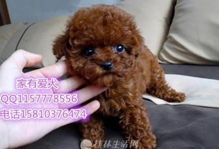 泰迪多少钱   泰迪好养吗   北京有卖泰迪的吗