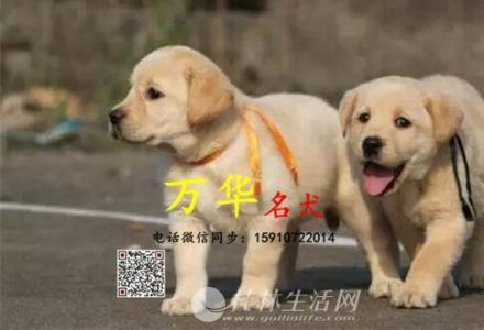 北京赛级拉布拉多犬 纯种拉布拉多幼犬出售