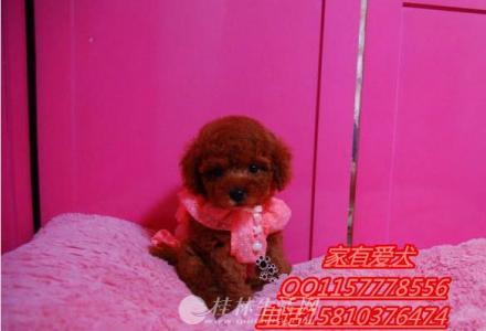 北京哪里有卖泰迪  泰迪多少钱   泰迪好养活吗