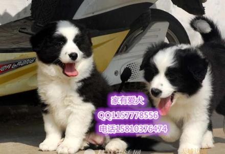 北京哪里有卖陨石色边境牧羊犬  边境牧羊犬多少钱