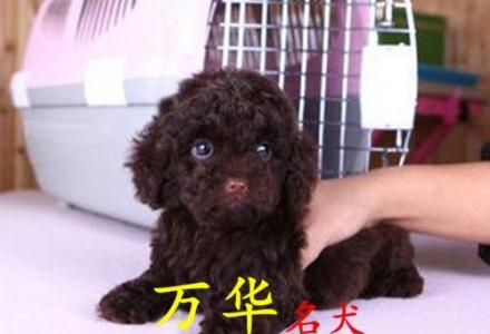 北京泰迪幼犬价格 北京哪里出售纯种泰迪