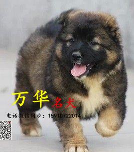 高加索幼犬怎么出售的 纯种的高加索哪里有