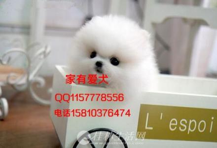 北京哪里出售博美幼犬   博美多少钱   博美体重多少