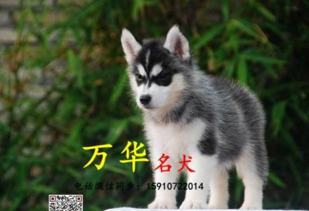 北京哪里出售双蓝眼哈士奇幼崽 哈士奇掉毛吗