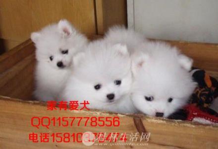 北京哪里出售博美幼犬   哈多利球体博美多少钱