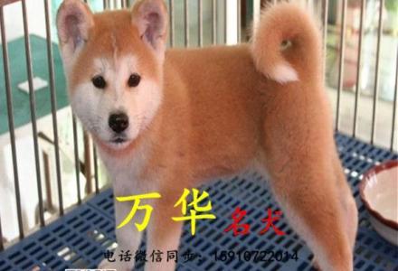 北京哪有卖秋田犬的,秋田小狗好养吗