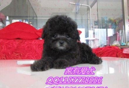 北京哪里出售泰迪  泰迪多少钱  泰迪好养活吗