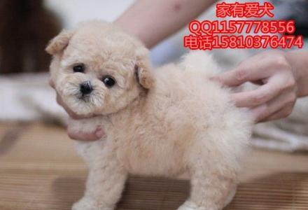 哪里出售泰迪幼犬  泰迪多少钱  泰迪成年体重多少