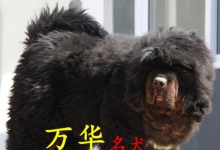 藏獒纯种大狮头藏獒红獒精品铁包金幼獒藏獒A级血统