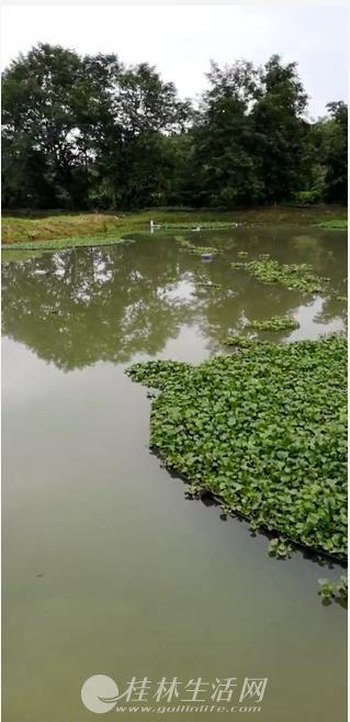 转让五通小龙虾成熟养殖基地(距离临桂约40公里)