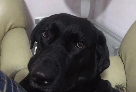 寻找拉布拉多爱犬--多多