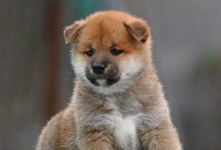 赛级柴犬 纯种柴犬 日本柴犬 保证纯种保证健康