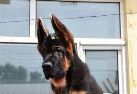 大头锤系 黑脸锤系 纯种德国牧羊犬幼犬待售