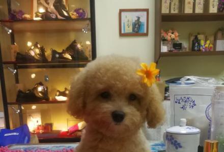 出售家养健康泰迪宝宝,欢迎爱狗人士来。