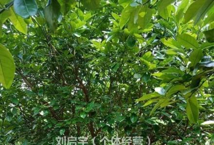 低价处理湖南柚子树3米-5米断根苗、可移植
