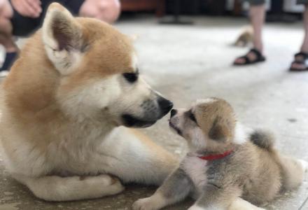 家养包纯秋田幼犬,桂林地区先看后买