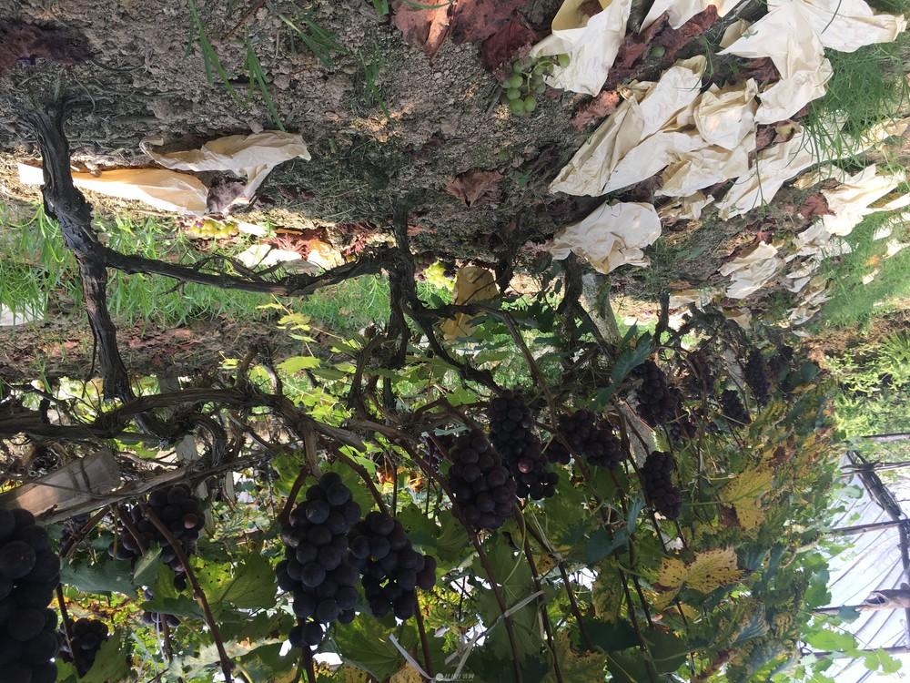 果园基地/巨峰葡萄苗-夏黑葡萄老苗
