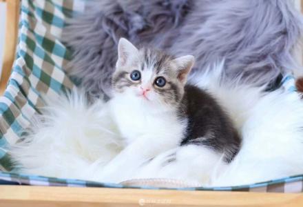 桂林本地猫舍长期出售各色英短布偶