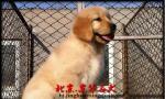 纯种双血统金毛幼犬多少钱 金毛怎么卖 金毛犬舍