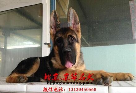 锤系德牧犬 大头德牧幼犬出售 北京市德牧幼犬