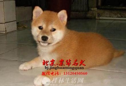 赛级三个月柴犬出售 纯种日系柴犬价格 柴犬犬舍
