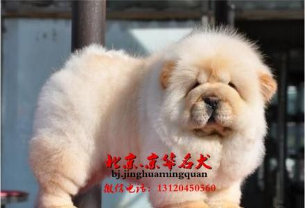 北京哪里有卖松狮幼犬  松狮图片 松狮能涨多大