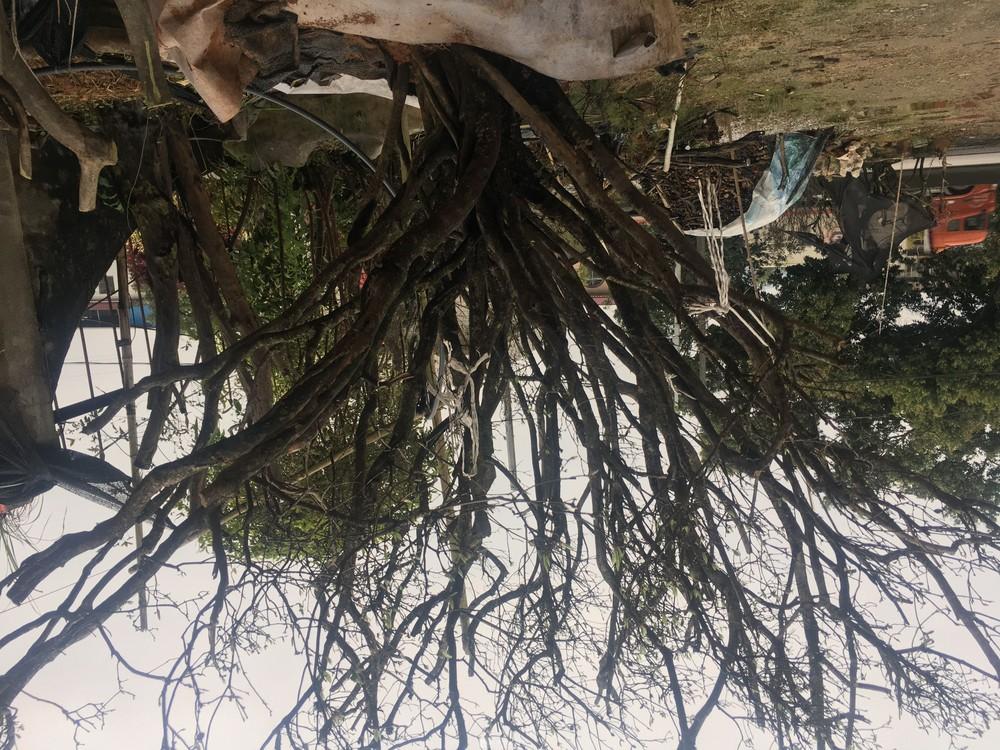 基地直销/映山红全冠桩-映山红绿化树桩