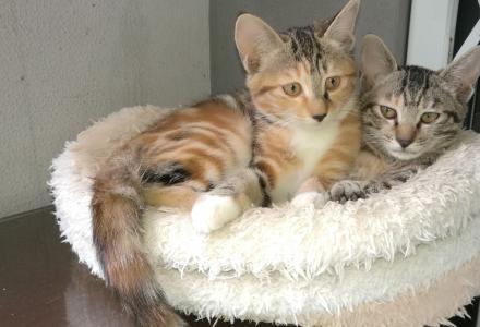 家养小猫两只求领养,两个半月