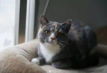 家养英国短绒母猫出售