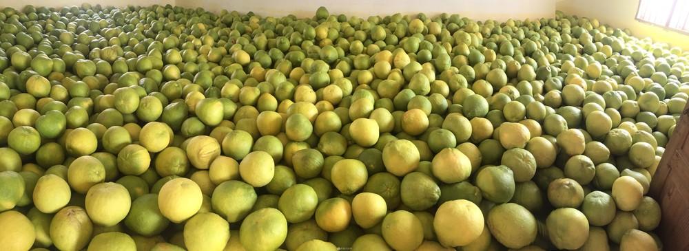 自家产老树沙田柚出售