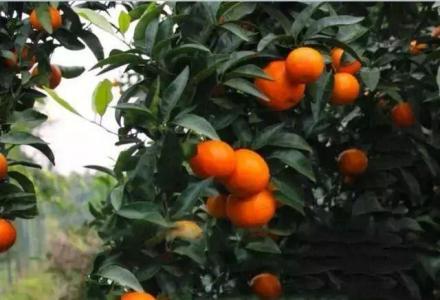 桂林高标种植专业合作社大量提供高品质防虫网早熟金葵砂糖橘苗木