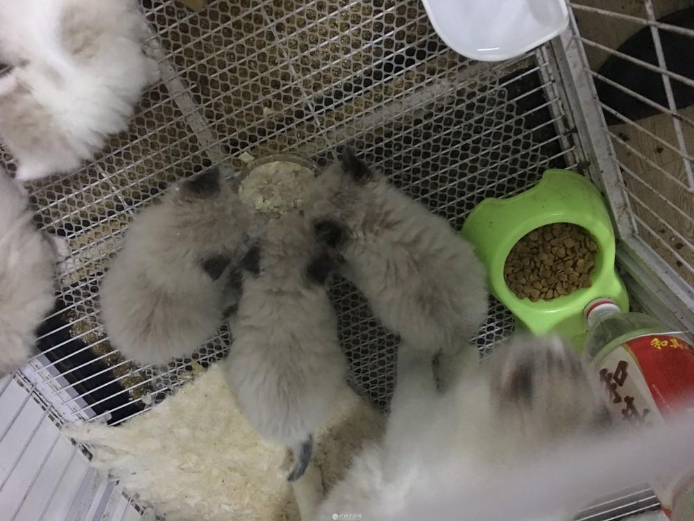 布偶猫自家繁殖的猫可预订可选