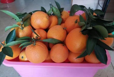 灵川县潭下脐橙-天然 有机 营养 健康