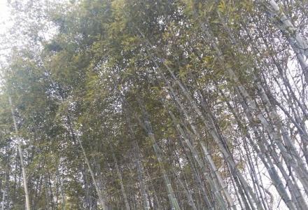 出售自家竹山的竹林若干