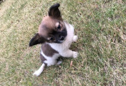 可爱珍珠狗转售有意者可联系