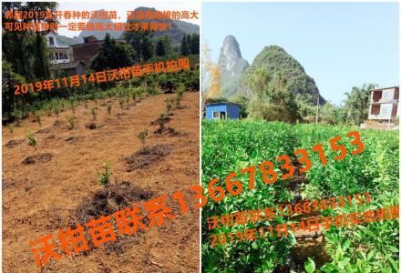 4万多株纯正沃柑果苗出售,根枝分叉粗壮,枝叶繁茂,大部分规格0.8米至1.3米高度