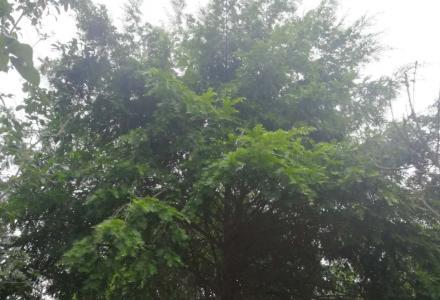 因征地低价出售大桂花树、红豆杉。