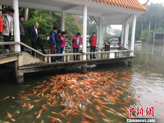 1月6日,游客在南宁市青秀山风景区内喂鱼点喂鱼。 陈秋霞 摄