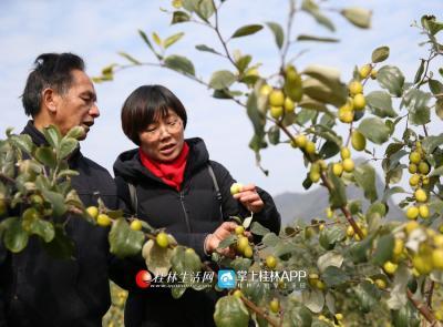 蒋俊通过实地考察后,为太和村引进大青枣种植。