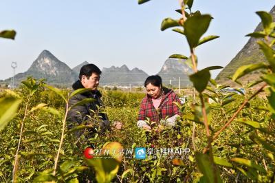 作为村里的一项产业,陈绪英经常会来到茶园询问茶叶的生长情况。