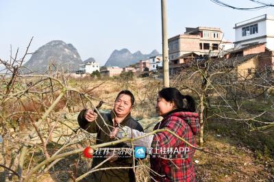 陈绪英与村民一起查看柿子树的生长情况。
