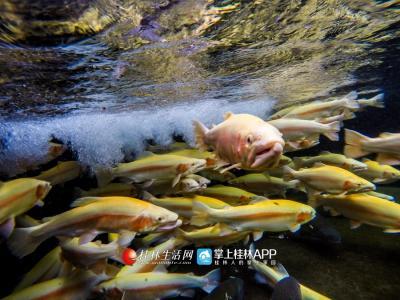 冷水鳟鱼对于水质和水温特别敏感。