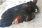 小兴安岭黑熊遭盗猎捕杀当野味出售